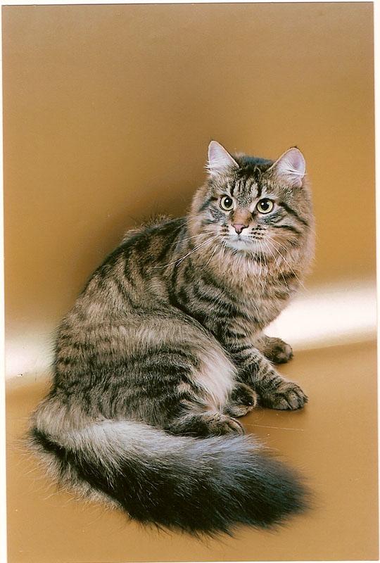 Сибирские коты в нижнем новгороде
